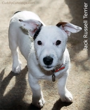 Jack Russell Terrier Cute Puppy
