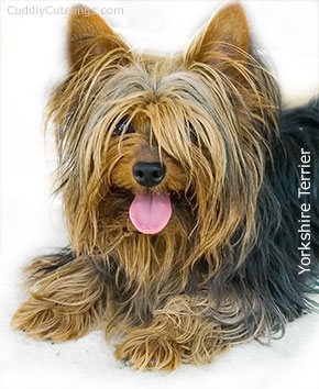 Yorkshire Terrier Cute Puppy